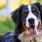 General Image - Bernese Left