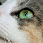 General Image - Cat W Green Eyes