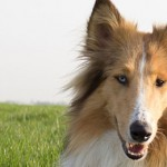 General Image - Collie