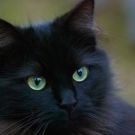 General Image - Cat Black