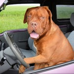 General Image - Dog in Car