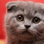 General Image - Grey Kitten