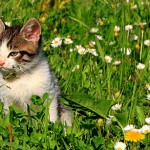 General Image - Kitten in Grass2