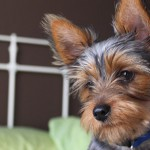 General Image - Morkie