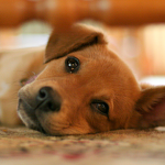 General Image - Puppy Lying Down