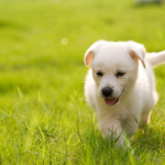 General Image - Puppy in Field