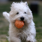 General Image - White Dog with Ball